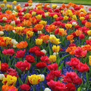 Bulbes de tulipes «Double Early Mix» paquet de 10