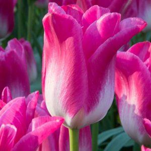 Bulbes de tulipes «Dynasty» paquet de 10