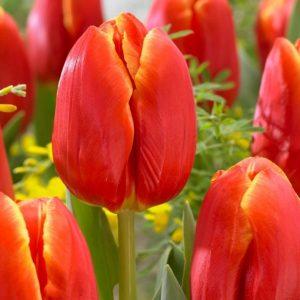 Bulbes de tulipes «Esta Bonita» paquet de 10