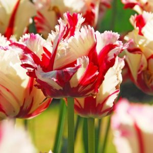 Bulbes de tulipes «Estella Rijnveld» paquet de 10