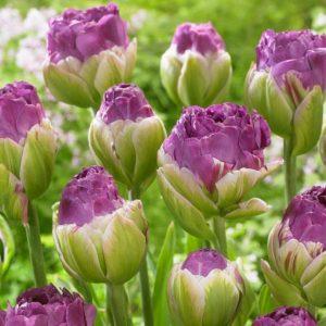 Bulbes de tulipes «Exquisite» paquet de 10