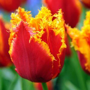 Bulbes de tulipes «Fabio» paquet de 10