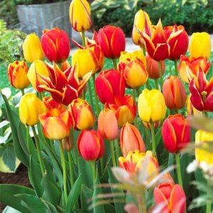 Bulbes de tulipes «Fire Glow» mix paquet de 10