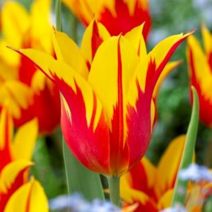Bulbes de tulipes «Fire Wings» paquet de 10