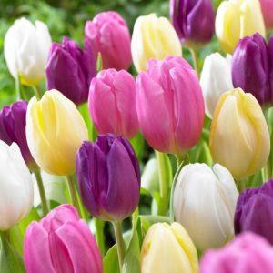Bulbes de tulipes «Flag Mix» paquet de 10