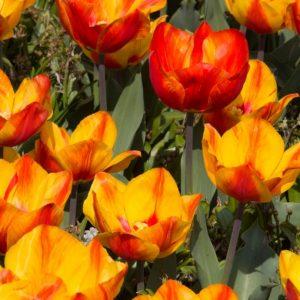 Bulbes de tulipes «Flair» paquet de 10
