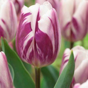 Bulbes de tulipes «Flaming Flag» paquet de 10