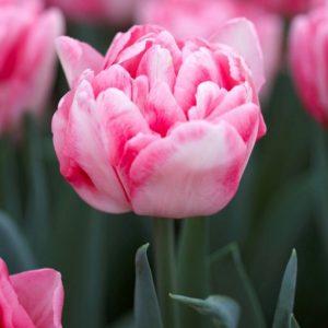 Bulbes de tulipes «Fox Trot» paquet de 10