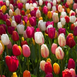 Bulbes de tulipes «French Mix» paquet de 10