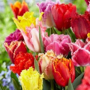 Bulbes de tulipes «Fringed Mix» paquet de 10
