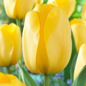 Bulbes de tulipes «Golden Parade» paquet de 10
