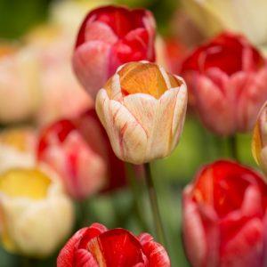 Bulbes de tulipes «Gudoshnik» paquet de 10