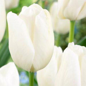 Bulbes de tulipes «Hakuun» paquet de 10