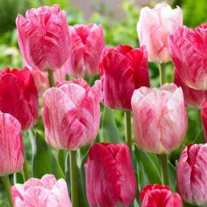 Bulbes de tulipes «Hemisphere» paquet de 10