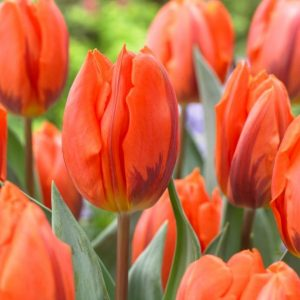 Bulbes de tulipes «Hermitage» paquet de 10