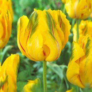 Bulbes de tulipes «La Courtine Parrot» paquet de 10