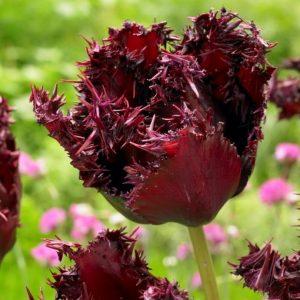 Bulbes de tulipes «Labrador» paquet de 10