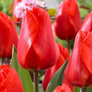 Bulbes de tulipes «Lalibela» paquet de 10
