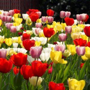 Bulbes de tulipes «Lovely Giants Mix» paquet de 10