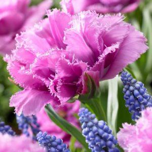 Bulbes de tulipes «Matchpoint» paquet de 10