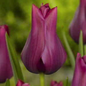 Bulbes de tulipes «Merlot» paquet de 10