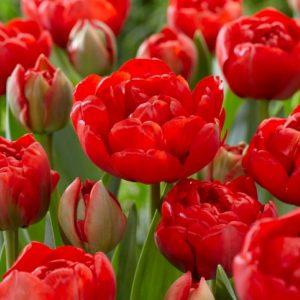 Bulbes de tulipes «Miranda» paquet de 10