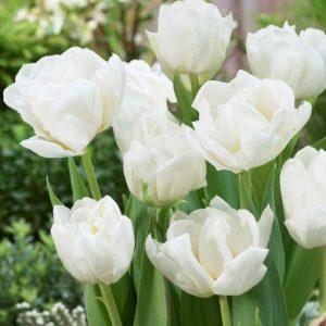 Bulbes de tulipes «Mondial» paquet de 10