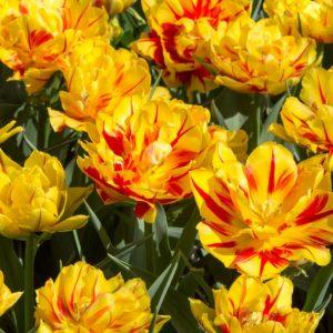 Bulbes de tulipes «Monsella» paquet de 10