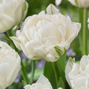 Bulbes de tulipes «Mount Tacoma» paquet de 10