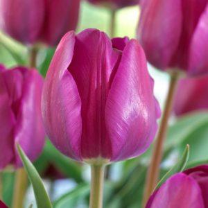 Bulbes de tulipes «Negrita» paquet de 10
