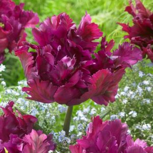 Bulbes de tulipes «Negrita Parrot» paquet de 10