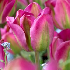 Bulbes de tulipes «Night Rider» paquet de 10