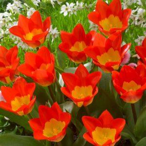 Bulbes de tulipes «Oracle» paquet de 10