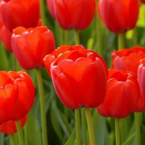 Bulbes de tulipes «Orange Pride» paquet de 10