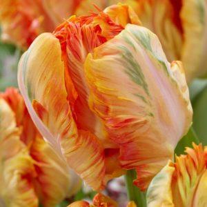Bulbes de tulipes «Parrot King» paquet de 10
