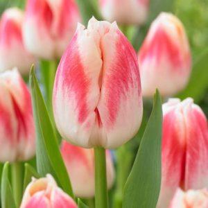 Bulbes de tulipes «Pleasure» paquet de 10