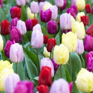 Bulbes de tulipes «Prince Mix» paquet de 10