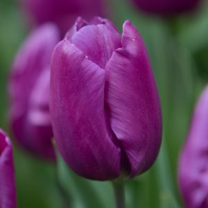 Bulbes de tulipes «Purple Prince» paquet de 10