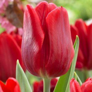 Bulbes de tulipes «Ruby Prince» paquet de 10