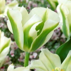 Bulbes de tulipes «Spring Green» paquet de 10