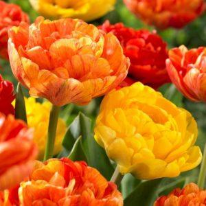 Bulbes de tulipes «Spring Joy Mix» paquet de 10