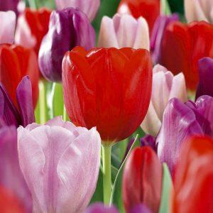 Bulbes de tulipes «Romantic» mix paquet de 10