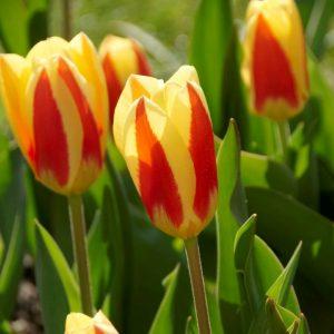 Bulbes de tulipes «Stresa» paquet de 10