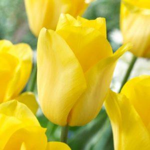 Bulbes de tulipes «Strong Gold» paquet de 10
