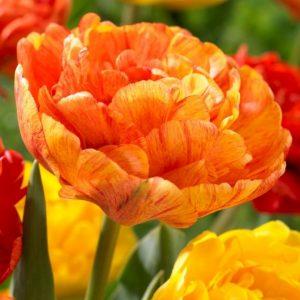 Bulbes de tulipes «Sun Lover» paquet de 10