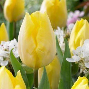 Bulbes de tulipes «Sunny Prince» paquet de 10