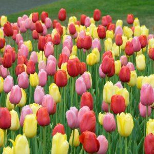 Bulbes de tulipes «Sunshine» mix paquet de 10