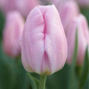 Bulbes de tulipes «Sweet Flag» paquet de 10
