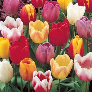 Bulbes de tulipes «Triumph Mix» paquet de 10