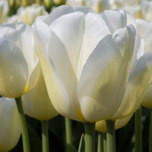 Bulbes de tulipes «Wedding Dress» paquet de 10